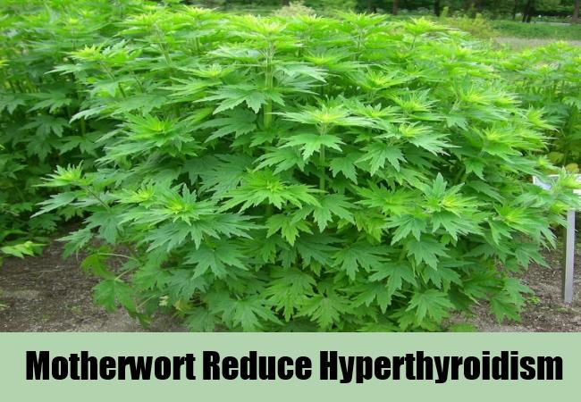 motherwort-reduce-hyperthyroidism